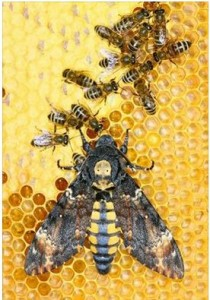 Death's Head Hawkmoth visiting a beehive