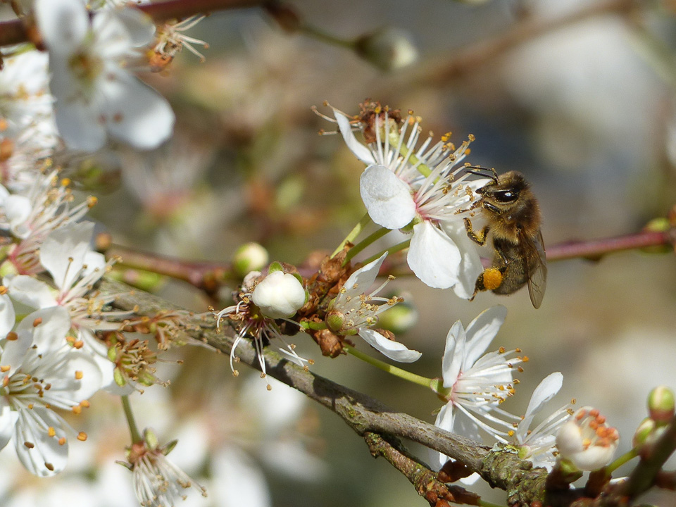 Honey Bee on cherry blossom, Tattenhoe Park by Harry Appleyard 11Feb16