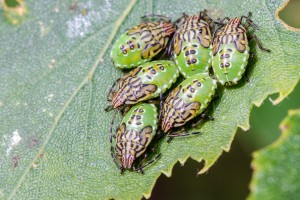 Parent Bug (Elasmucha grisea) by Peter Hassett, Preston Montford , 5 August 2015
