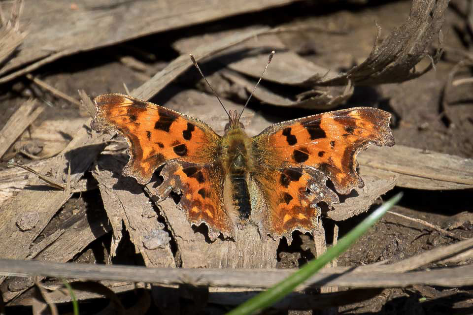 Comma by Peter Garner, Little Linford Wood, 25 March 2016