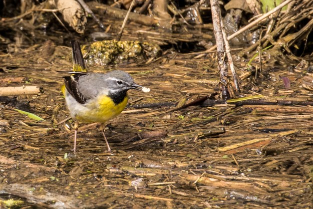 Grey Wagtail by Peter Hassett, Floodplain Forest NR, 10 April 2016