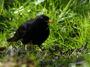 Blackbird by Harry Appleyard, Tattenhoe 10 April 2016