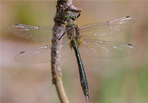 Downy Emerald (male)