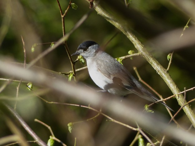 Male Blackcap by Harry Appleyard, Tattenhoe, 17 April 2016