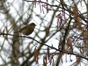 Willow Warbler by Harry Appleyard, Tattenhoe Valley Park 2 April 2016