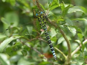 Mature male Southern Hawker, Kingsmead Wood (25th July) Aeshna cyanea