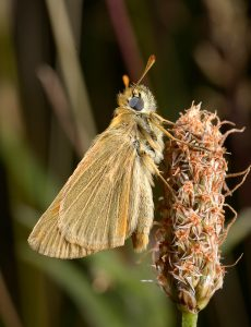 Small Skipper by Paul Lund. Wicken Wood 5 July 2016