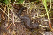 Great Crested Newt by Paul Lund. Wicken Wood 5 July 2016