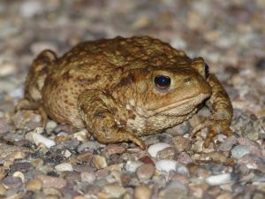 Common Toad, Bufo bufo, Howe Park Wood (30th August 2016)