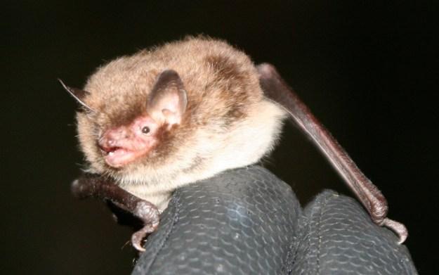 Daubenton's bat by Chris Damant
