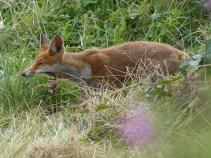 Fox by Harry Appleyard, Tattenhoe Park 10 August 2016