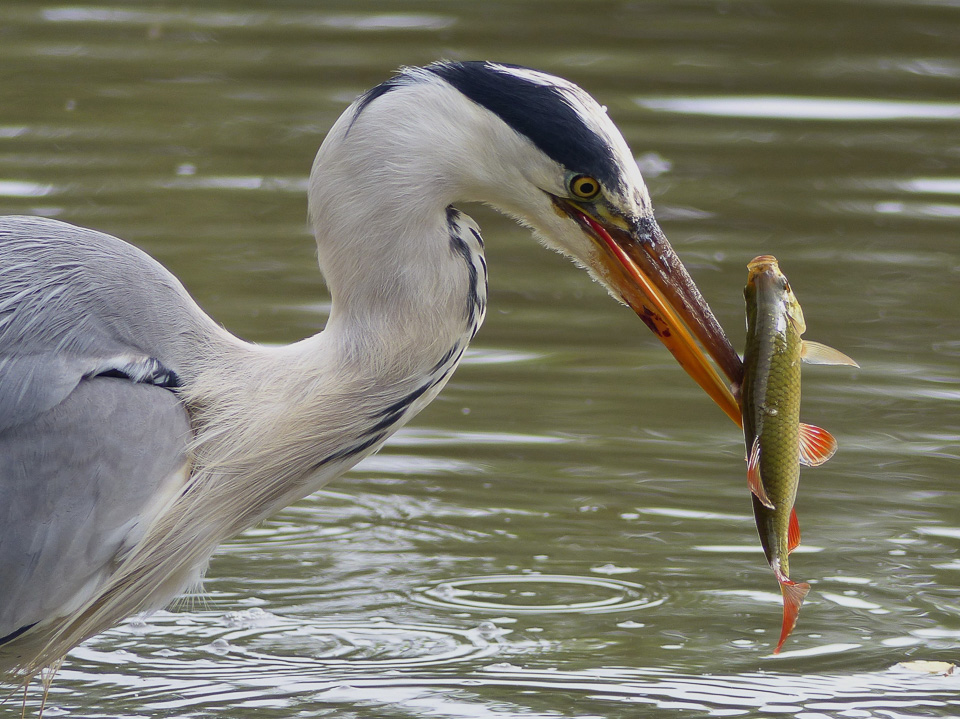 Grey Heron with Rudd by Harry Appleyard, Tattenhoe Linear Park 31 July 2016