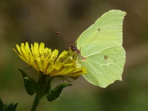 Brimstone, Tattenhoe Park (1st September 2016)