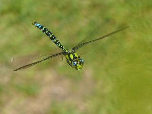 Mature Male Southern Hawker, Howe Park Wood (1st September 2016)