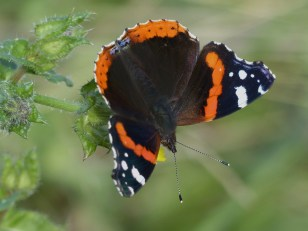Red Admiral by Harry Appleyard, Tattenhoe Park 22nd September 2016