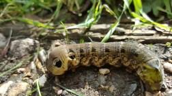 Elephant hawk moth Caterpillar, Deilephilia Elpenor by Julian Lambley, Old Wolverton Mill, 11 September 2016