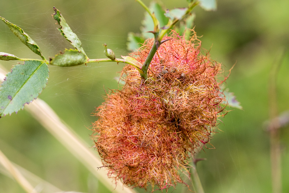 """Bedeguar gall """"Robin's pin cushion"""" on dog rose by Peter Hassett, Old Warden Tunnel NR, 21 September 2016"""