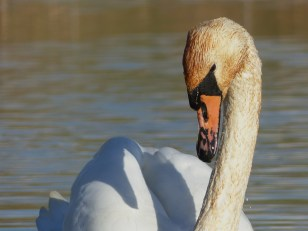 Mute Swan by Harry Appleyard, Tattenhoe Park 11 November 2016