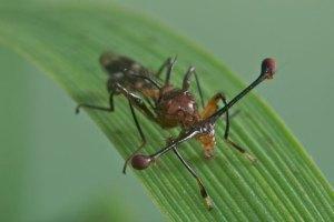 Stalk-eyed fly