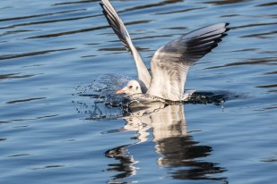 Black-headed Gull by Peter Hassett Caldecotte Lake 29 December 2016