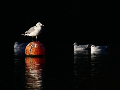 Common Gull with Black-headed Gulls by Harry Appleyard, Furzton Lake 29 December 2016