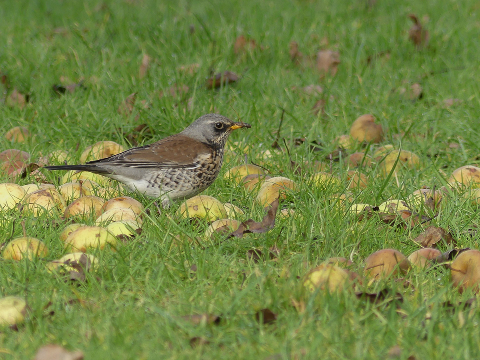 Fieldfare by Harry Appleyard, Tattenhoe 16 January 2017