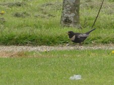 Ring Ouzel, by Harry Appleyard, Tattenhoe Park 24 April 2017