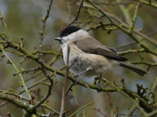 Marsh Tit by Harry Appleyard, Howe Park Wood 16 February 2017