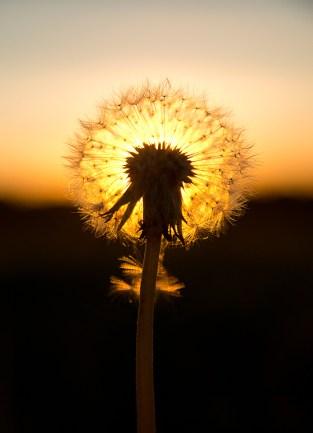 Dandelion seedhead in the sun by Paul Lund, taken near Bradwell windmill. 3 October 2016