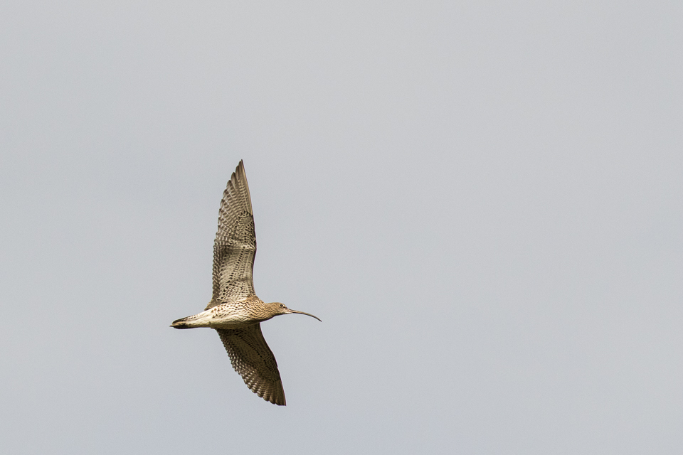 Curlew by Peter Hassett, Draycote Water 1 March 2017
