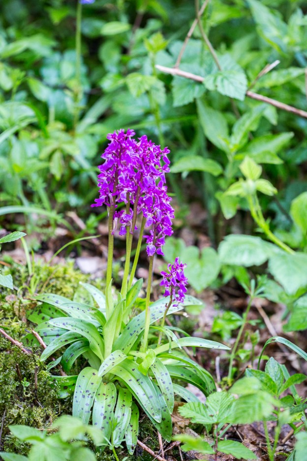 Early-purple Orchid by Peter Hassett, Linford Wood 2 May 2017
