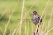 Redshank by Peter Hassett, Rainham Marsh, 14 May 2017