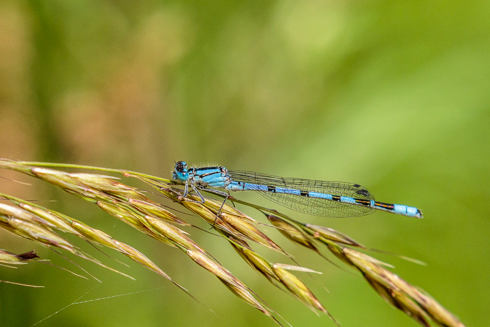 Common Blue Damselfly by Peter Hassett, College Lake 18 June 2017