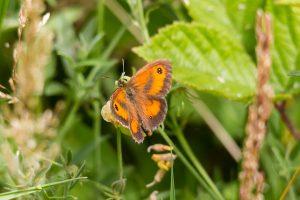 Gatekeeper ©Paul Young, Bucknell Wood 8 July 2017