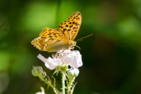 Silver-washed Fritallary (male) ©Paul Young, Bucknell Wood 8 July 2017