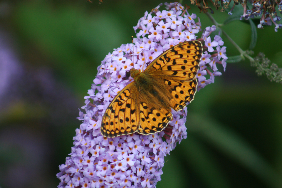 Dark Green Fritillary ©Martin Kincaid, College Lake 3 August 2015