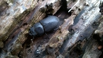Lesser Stag Beetle ©Martin Kincaid, Howe Park Wood, 24 July 2017