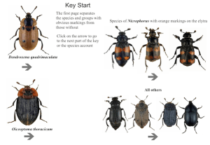 Draft interactive ID guide for Silphidae