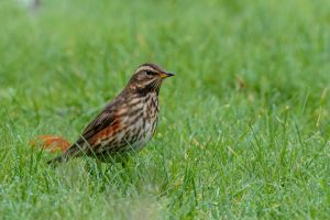 Redwing ©Peter Hassett, Shenley Church End 18 December 2017