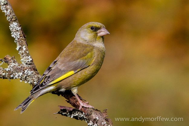 Greenfinch by Andy Morffew, Itchen Abbas 6 November 2012