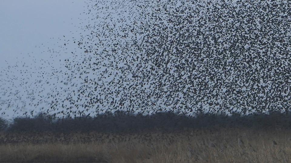 Roosting Starlings ©Harry Appleyard