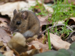 Wood Mouse ©Harry Appleyard, Tattenhoe, 23 January 2018