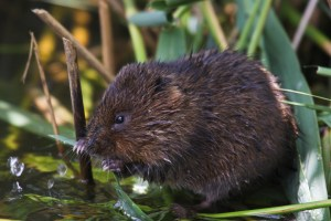 Water Vole ©Peter Hassett, WWT Arundel 19 July 2011