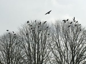 Crows ©Julie Lane, Olney 28 March 2018