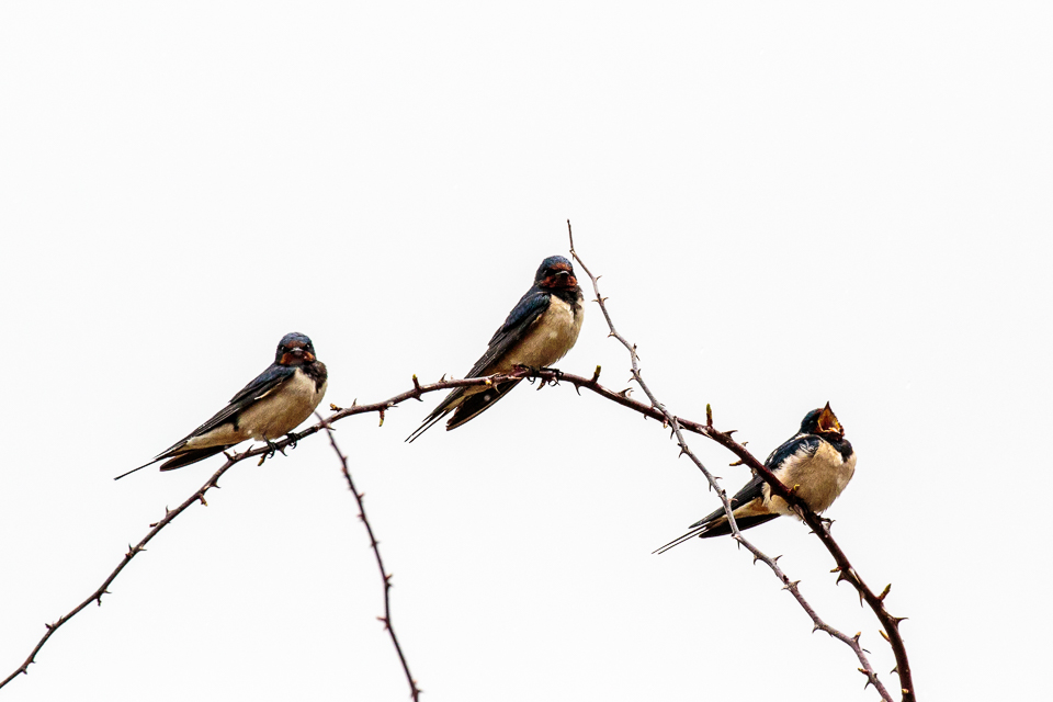 Swallow ©Peter Hassett, College Lake 4 April 2018