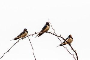 Swallow ©Peter Hassett, College Lake 4 April 2018