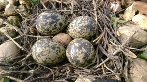 Lapwing nest ©Martin Kincaid, Stony Stratford NR 26 March 2014