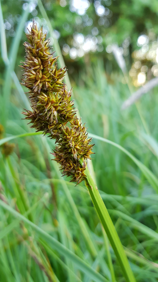 True fox sedge ©Julian Lambley, Meadow Farm reserve, 26 June 2018