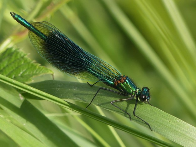 Male Banded Demoiselle, ©Harry Appleyard, Rushden Lakes 5 June 2018