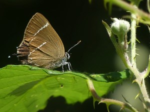 White-letter Hairstreak ©Harry Appleyard, Bucknell Wood, 30 June 2018